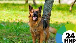Наркотики, взрывчатка, деньги: как в Азербайджане тренируют собак-ищеек - МИР 24