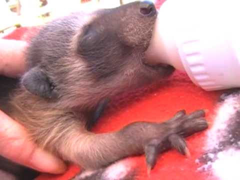 Bottle-feeding Orphaned Raccoon Babies
