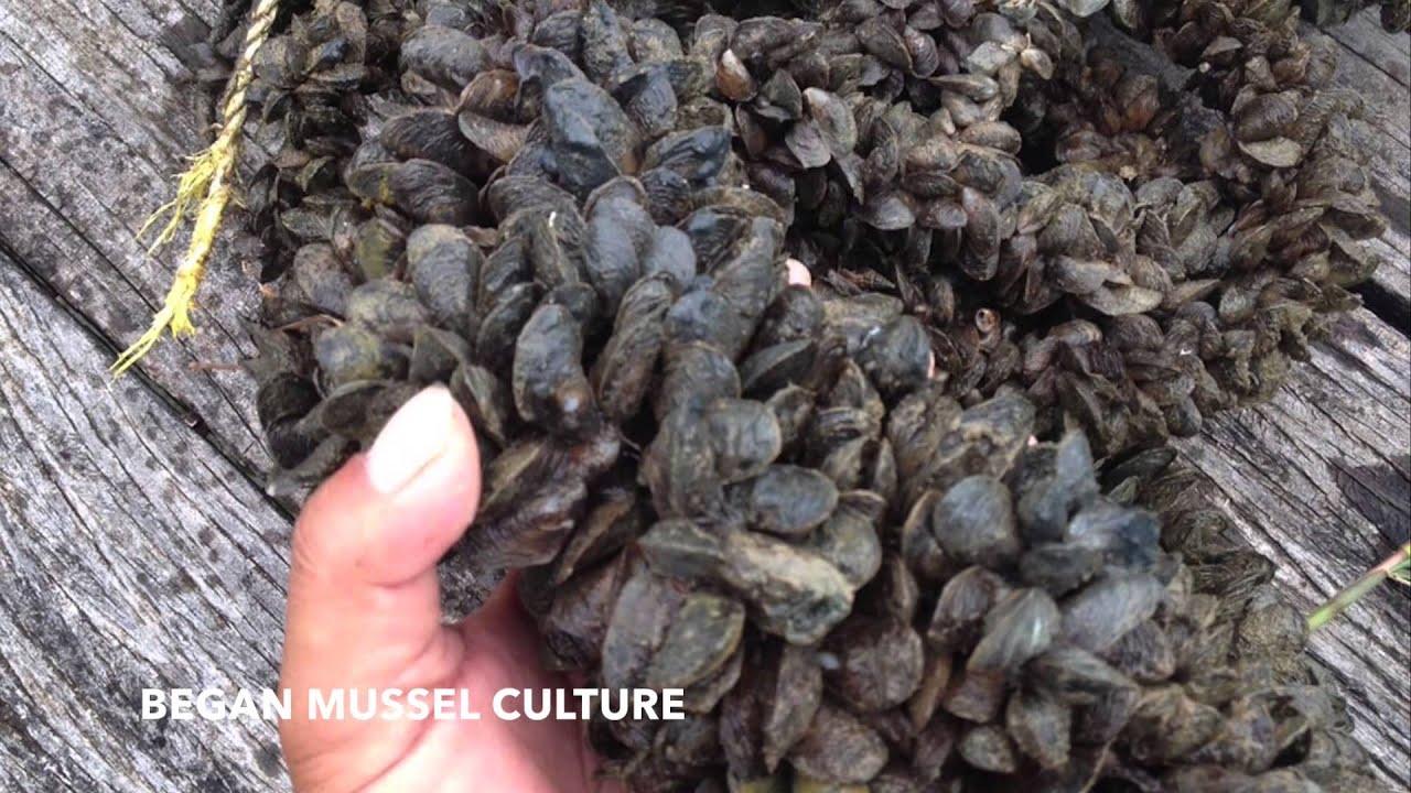 Aquamimicry Organic Black Tiger Prawn Farming