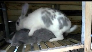 крольчиха прыгает на крола(Если крольчиха прыгает на самца, то это нормально. Это означает что самка в охоте., 2016-03-07T16:50:34.000Z)