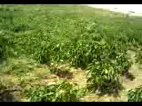 sarıcaali köyü hüseyin darısapı bağçe