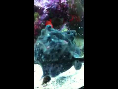 Angler fish feeding watch closely he 39 s quick youtube for Angler fish pet