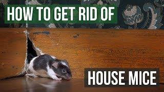 How To Get Rid Of House Mice  4 Easy Steps