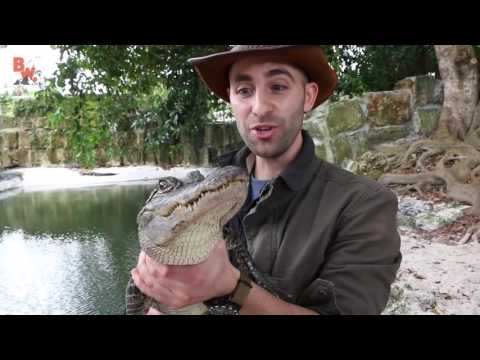 Укус аллигатора Аллигатор укусил за руку Brave Wilderness на русском