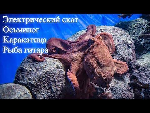 Охота осьминога и каракатицы. Электрический скат. Рыба гитара
