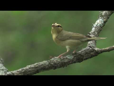 Worm-eating Warbler.mov
