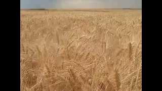 Бескрайнее поле золотой пшеницы. Николаевская область, Украина(, 2015-06-26T16:11:56.000Z)