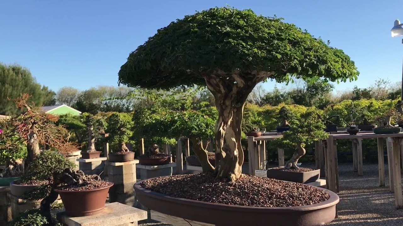 Visiting Wigerts Bonsai Nursery In North Fort Myers