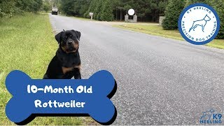 10-Month old Rottweiler