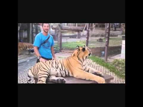 Tiger Kingdom Chang Mai Thailand