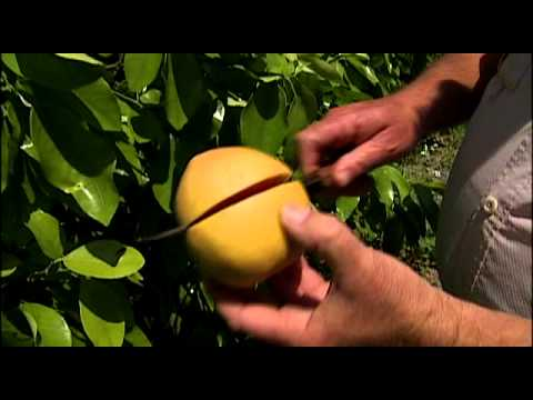 Florida Grapefruit: From the Grove to You
