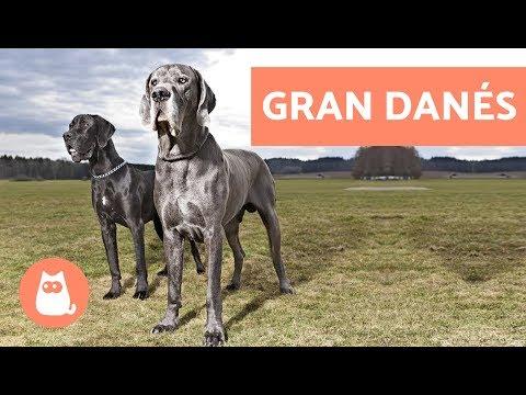 Gran danés o dogo alemán - Perros GIGANTES