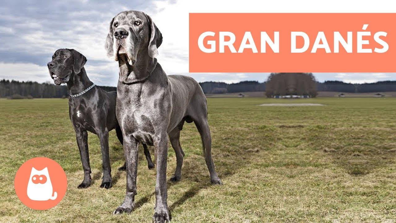 Gran Danés O Dogo Alemán