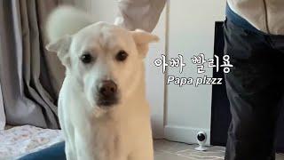 아빠한테 말로 다 이르는 의사표현이 매우 정확한 강아지…