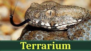 Гюрза, или левантская гадюка (лат. Macrovipera lebetina)