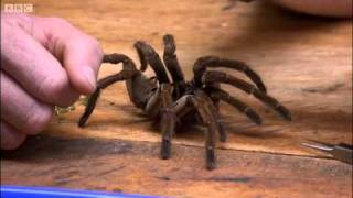 Goliath bird-eating spider - Expedition Guyana - BBC
