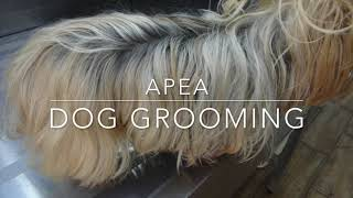 long haired silky Yokie, dog grooming