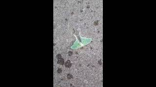 The Luna Moth in Gatineau Park, Quebec