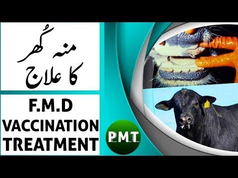 Mun Khur Ka Ilaj | Foot & Mouth Disease in Cows Treatment in Urdu Hindi | منہ کھر کی بیماری کا علاج