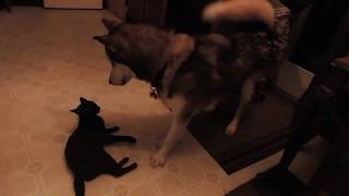 FUNNY CAT AND DOG кот Шадо и Эверест