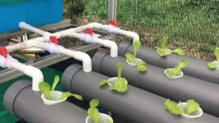 Home-Built Backyard Aquaponics Setup