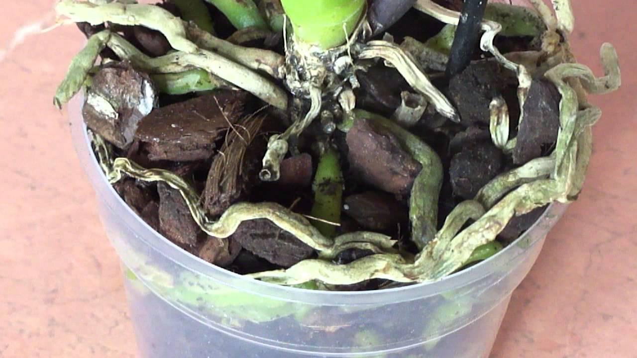 Почему у сохнут корни у орхидеи фаленопсис