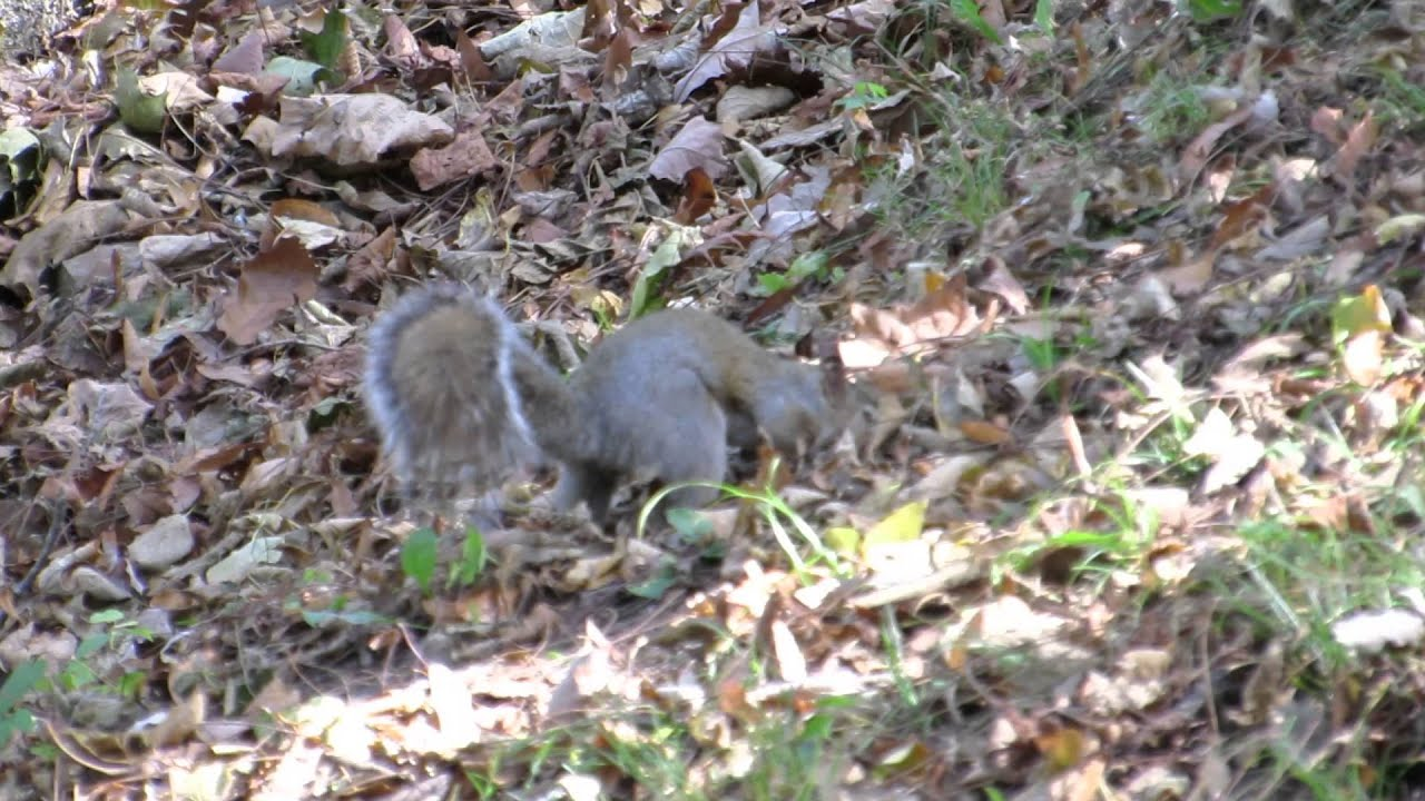 gray squirrel burying nuts in hillside youtube