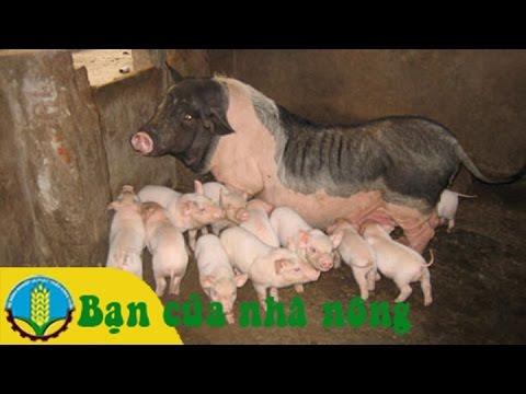 Cách chọn giống và chăm sóc lợn ngoại
