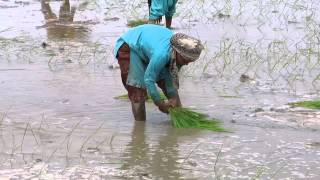 Rice planting in India