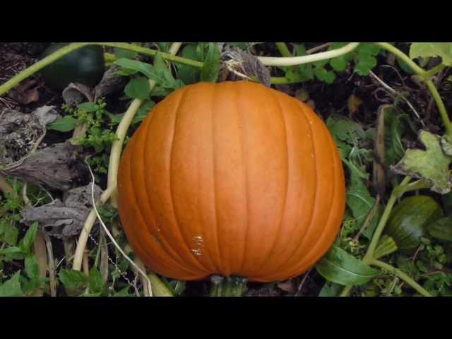 Pumpkin - Grasker - Sumarblóm - Matjurt  -  Náttskuggaætt - Aldin