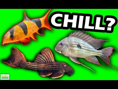 The BEST CHILL Aquarium BOTTOM Feeding Fish For Your Fish Tank: TOP 4