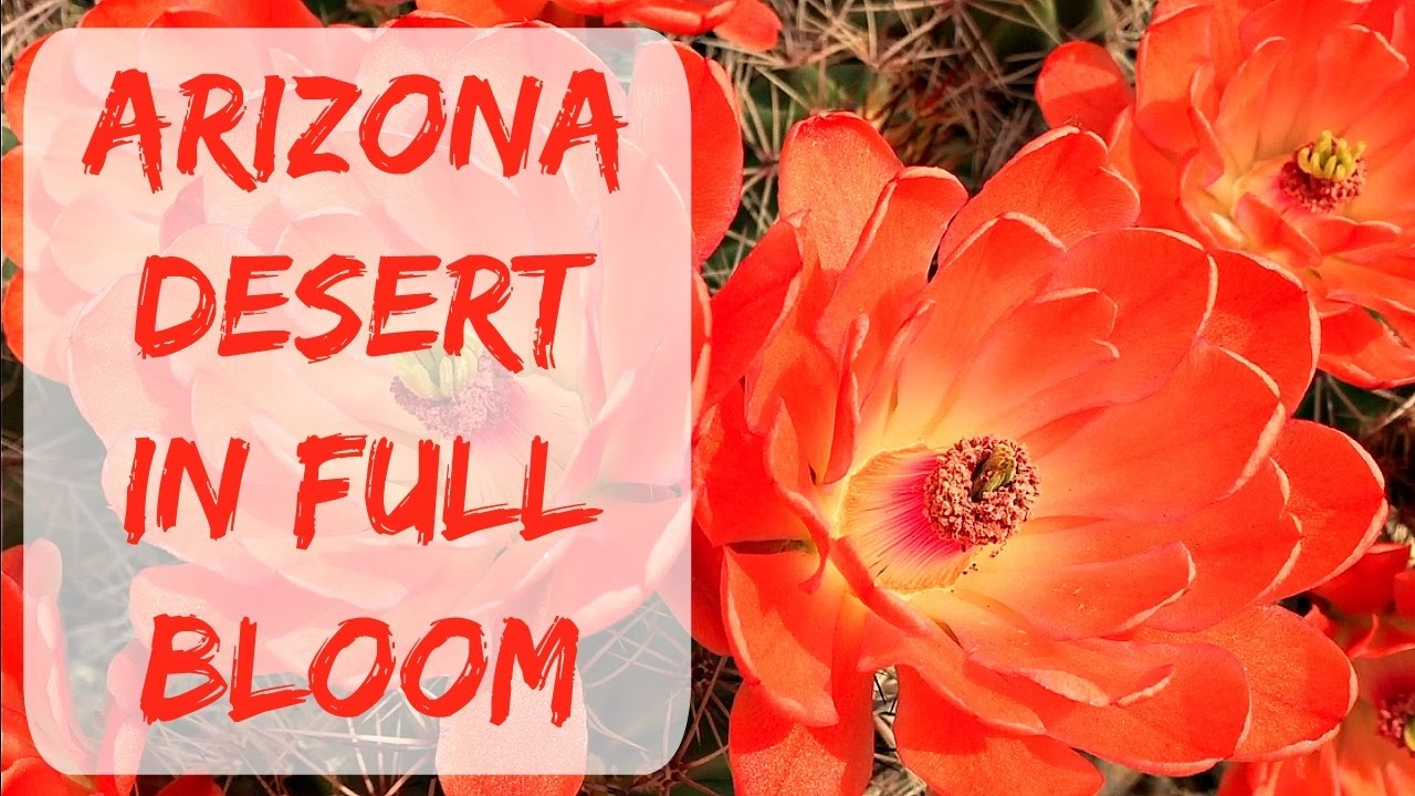 Cactus Blossoms Arizona The Home Of The Most Beautiful Cactus