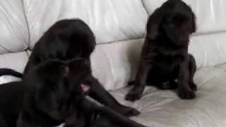 元気いっぱいのフラットコーテッドレトリバー子犬!!<子犬の利根RS>