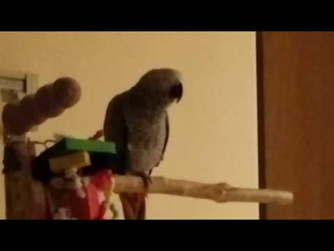 10 month old African Grey is making sounds and trying to talk.
