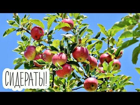 Яблони и другие плодовые деревья будут ломиться от урожая после этого сидерата!
