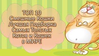 #Топ10 #Смешные #Кошки #Лучшаяподборка #Самых #Толстых #Котов и #Кошек в МИРЕ