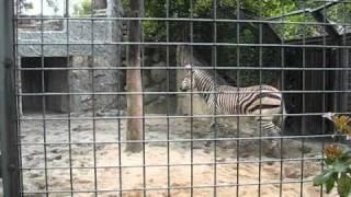 上野動物園のハートマンヤマシマウマ、パンジーちゃん。いつもは落ち着...