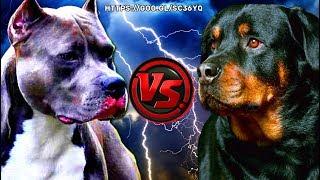 PITBULL VS ROTTWEILER l fight over dominance!!! l Pelea por dominancia