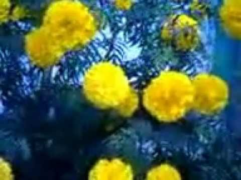 Tagetes is a genus of annual and perennial, mostly herbaceous plants