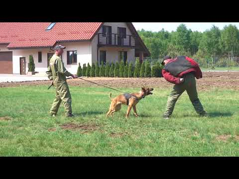 RAMBO BELGIAN MALINOIS  - PROTECTION