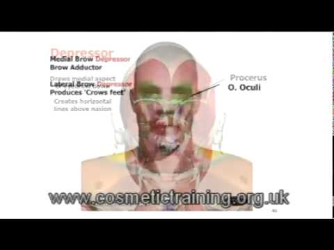 Anatomy of facial muscles for botox injections