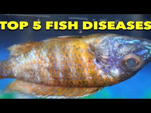 Stop Your African Cichlids From Dying: Top 5 Common African Cichlids Parasites And Diseases