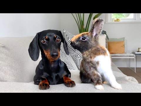 Dachshund and bunnies.