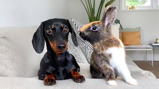 Dachshund and bunnies.