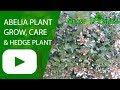 Abelia plant - grow, care & hedge plant