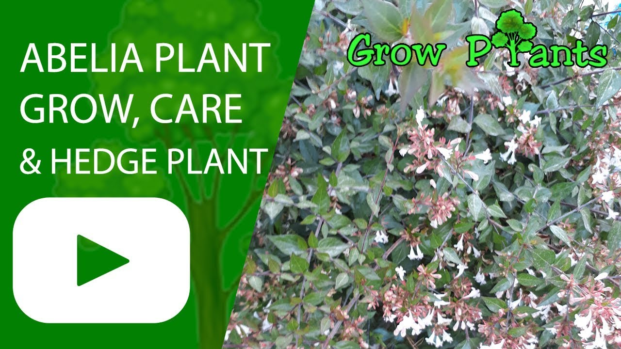 Abelia Plant Grow Care Hedge Plant Youtube