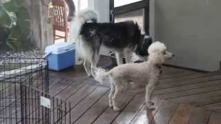 Husky And Poodle Play