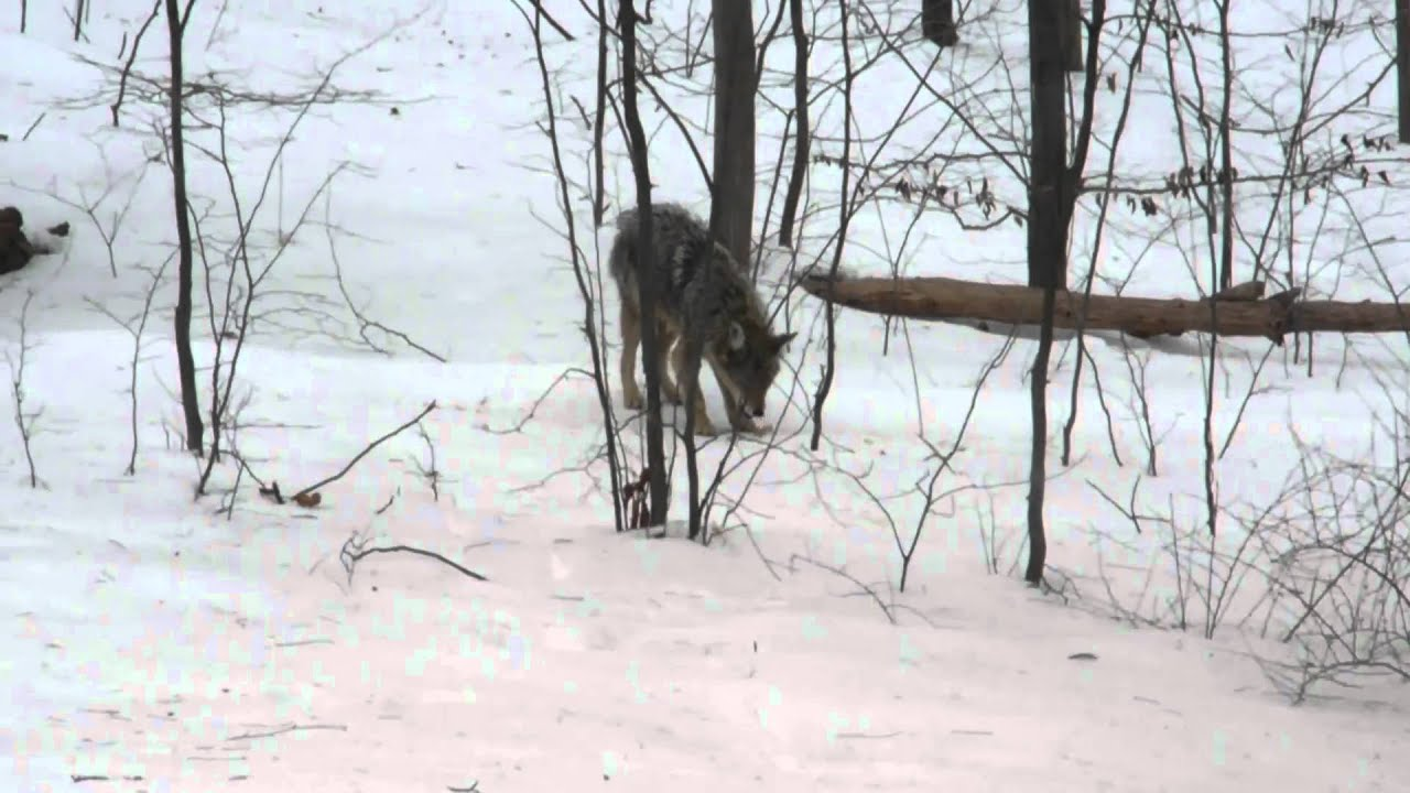 coyotes in the yard again - YouTube