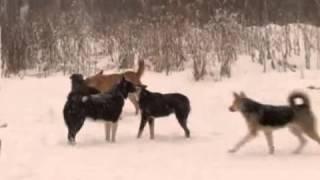 Ухта. Нападения бродячих собак