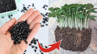 Trồng đậu đen tại nhà cách đơn giản để hạt nảy mầm - Planting black beans